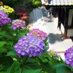 鎌倉散歩 江ノ電であじさい巡り Kamakura